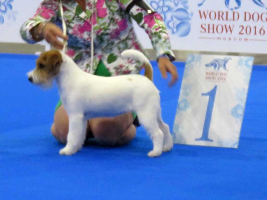 Whitetan Esmeralda Puppy World Hope