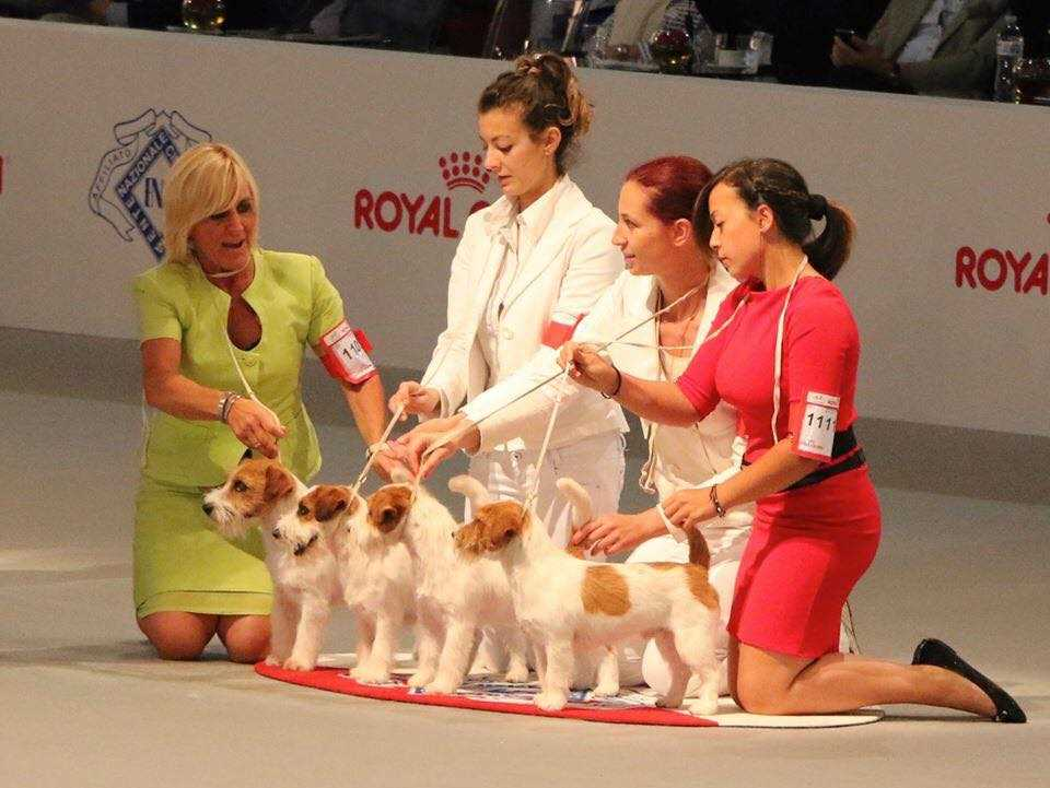 Whitetan Kennel best Jack Russell Breed Group in the World